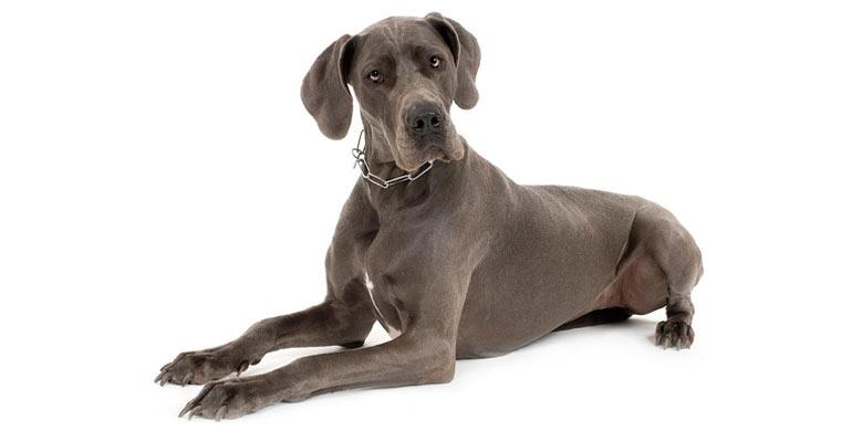 perro-dogo-aleman