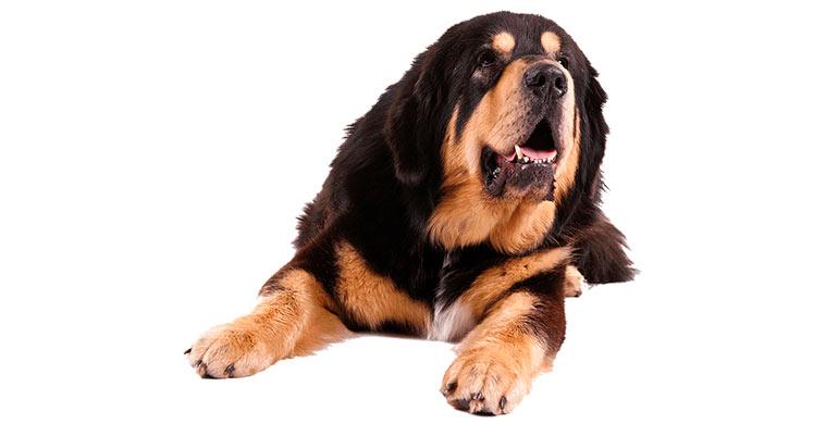 perro-dogo-del-tibet