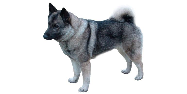 perro-elkhound-noruego-gris