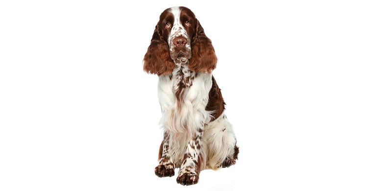 perro-english-springer-spaniel