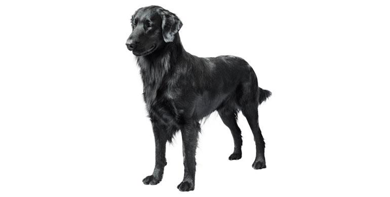 perro-flat-coated-retriever