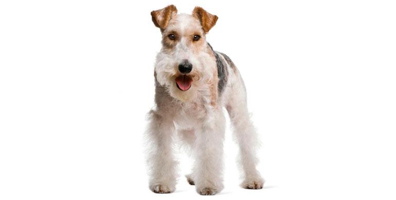 perro-fox-terrier-de-pelo-duro