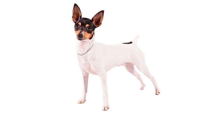 perro-fox-terrier-toy