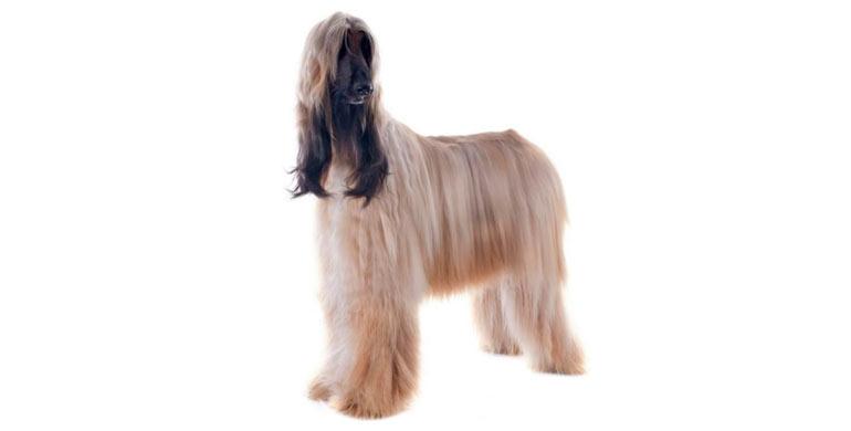 perro-galgo-afgano