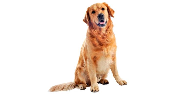 perro-golden-retriever