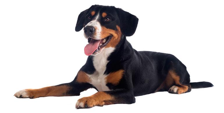 perro-gran-boyero-suizo