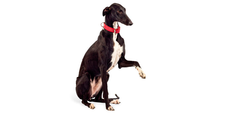 perro-greyhound