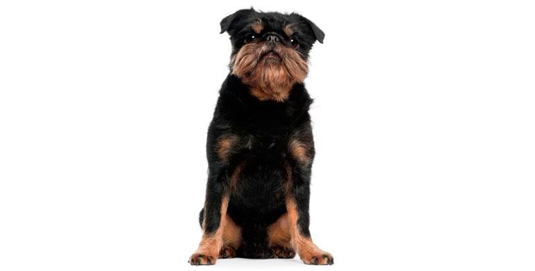 perro-grifon-belga