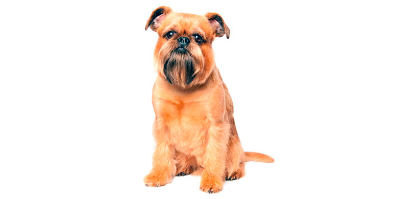 perro-grifon-de-bruselas