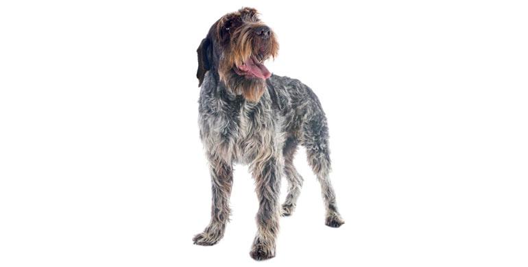 perro-grifon-de-muestra-korthals-de-pelo-duro