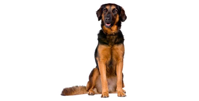 perro-hovawart