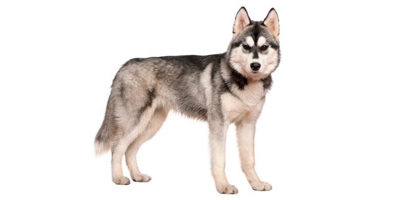 perro-husky-siberiano