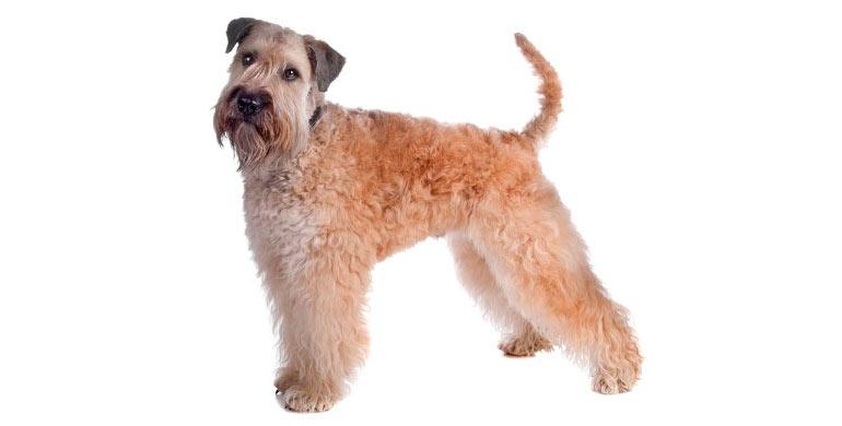 perro-irish-soft-coated-wheaten-terrier