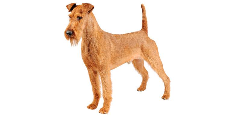 perro-irish-terrier