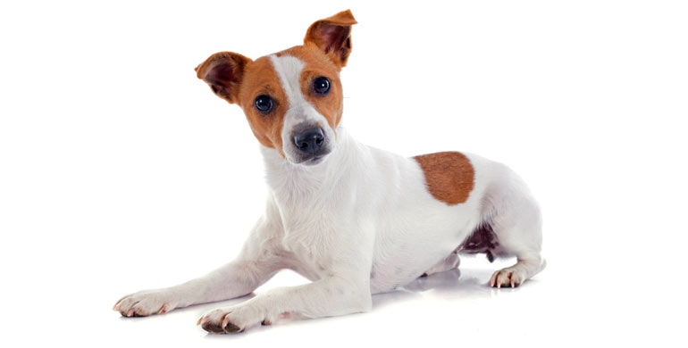 Perro Jack Russell Ter...