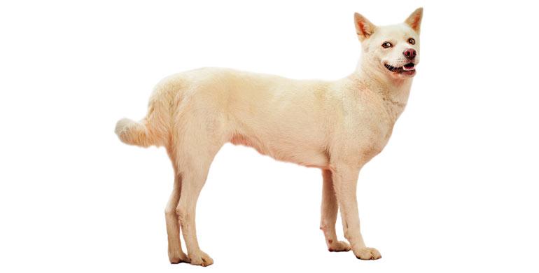 perro-jindo-coreano