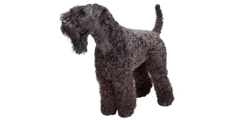 perro-kerry-blue-terrier