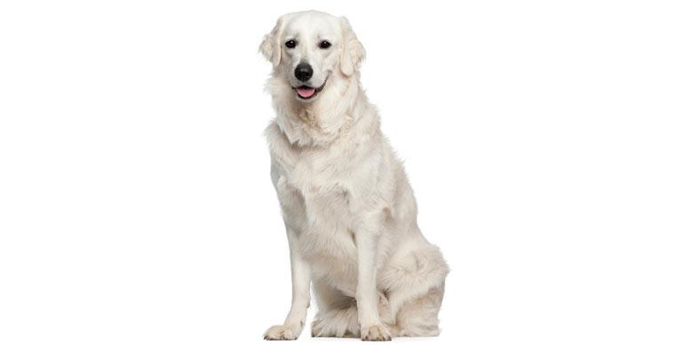 perro-kuvasz