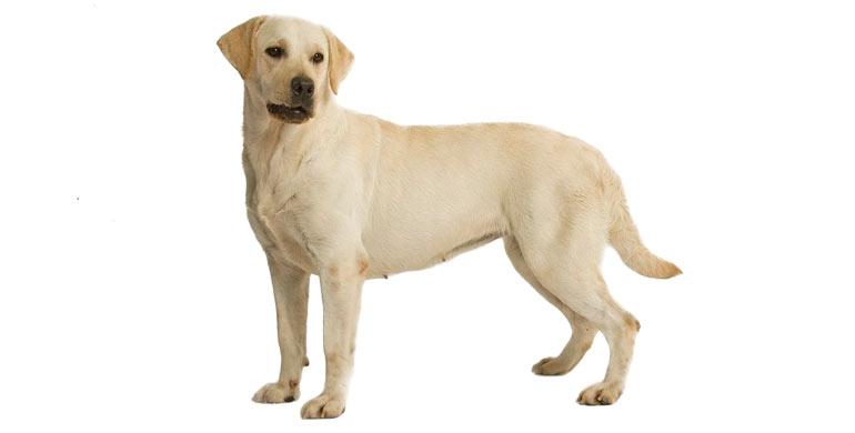 perro-labrador-retriever