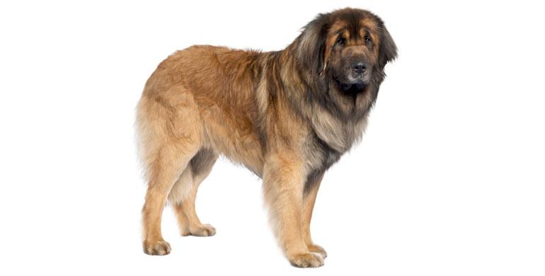 perro-leonberger