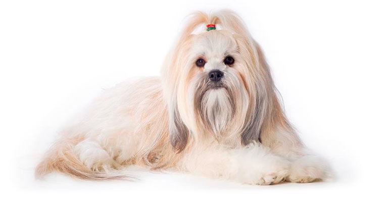 perro-lhasa-apso