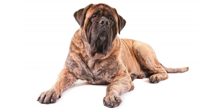 perro-mastiff