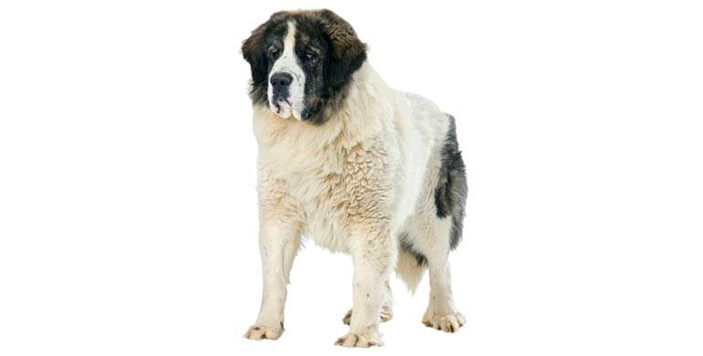 perro-mastin-del-pirineo