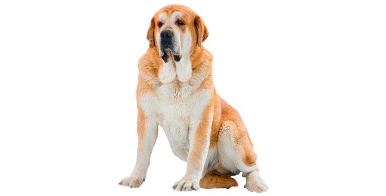 perro-mastin-espanol