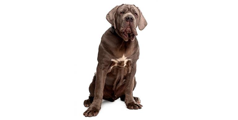 perro-mastin-napolitano