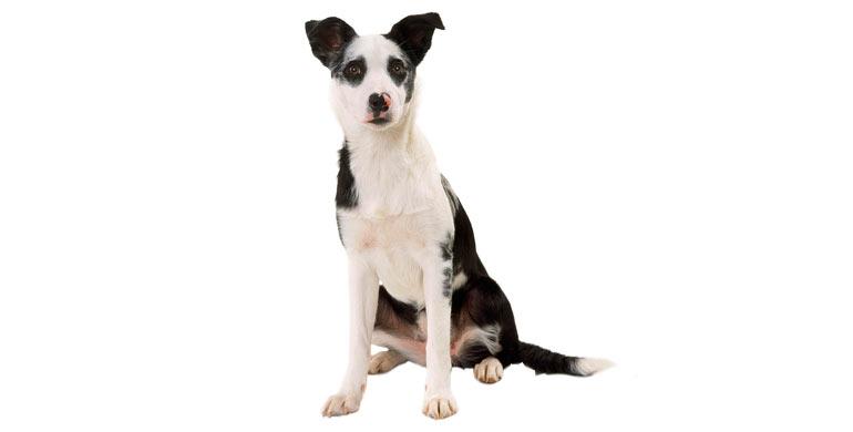 perro-mestizo-grande
