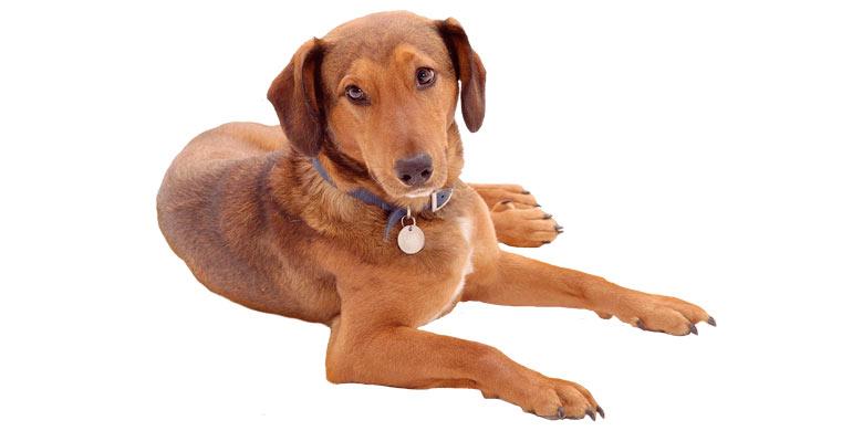 perro-mestizo-mediano