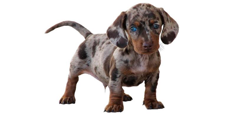 perro-mestizo-pequeno