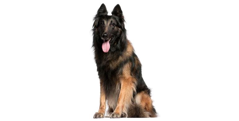 perro-pastor-Belga-Tervueren