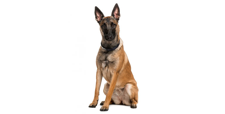 perro-pastor-belga-malinois