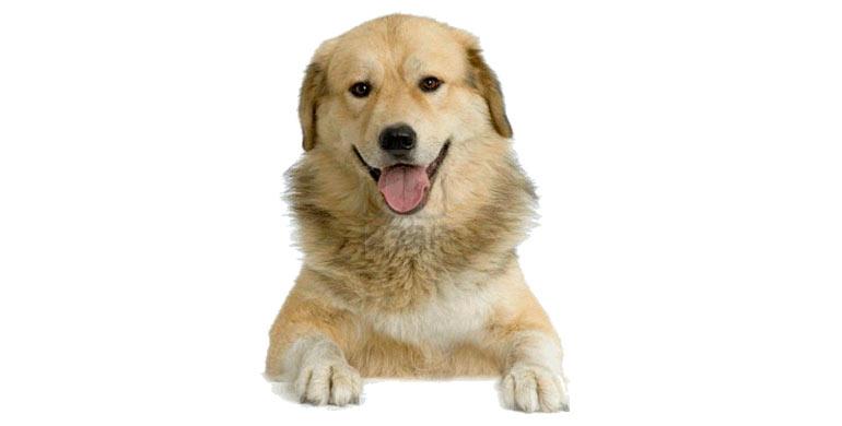 perro-pastor-de-anatolia