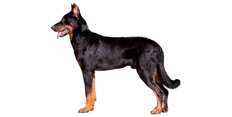 perro-pastor-de-beauce