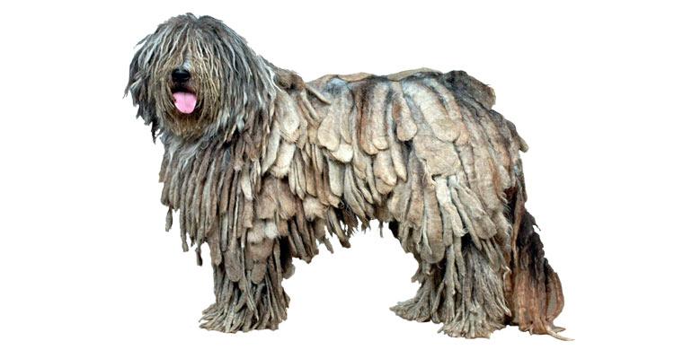 perro-pastor-de-bergamo