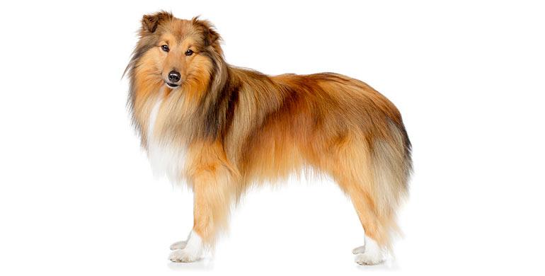 perro-pastor-de-las-shetland