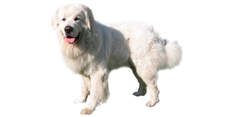 perro-pastor-polaco-de-podhale