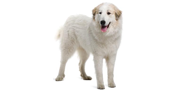 perro-perro-de-montana-de-los-pirineos