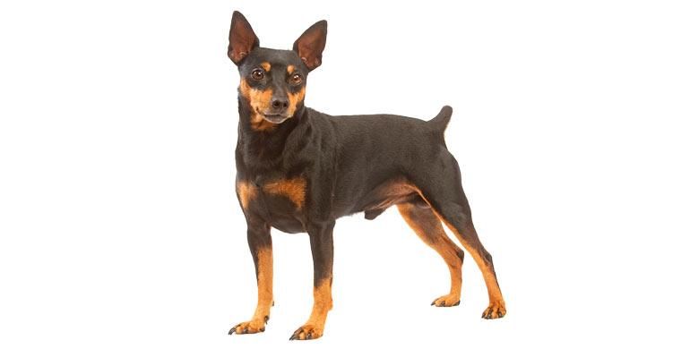 perro-pinscher-Aleman