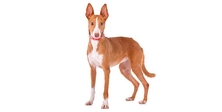 perro-podenco-canario