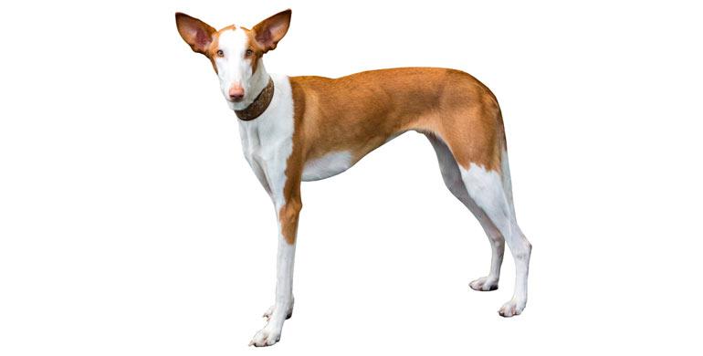 perro-podenco-ibicenco