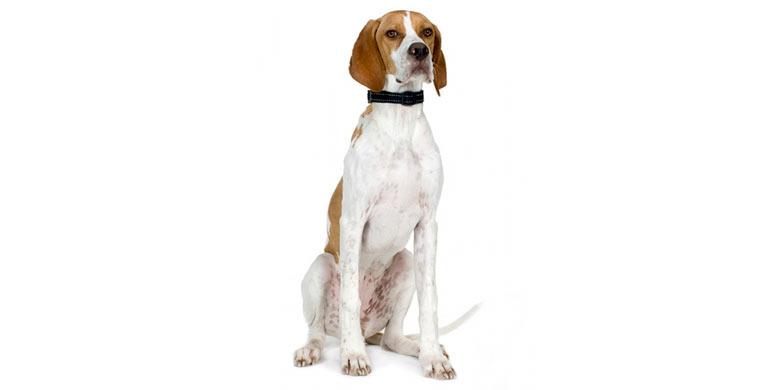perro-pointer