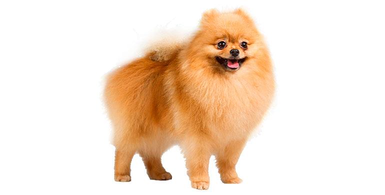 perro-pomerania