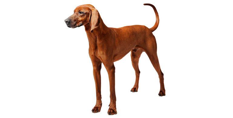 perro-redbone-coonhound