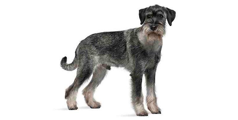 perro-schnauzer-mediano