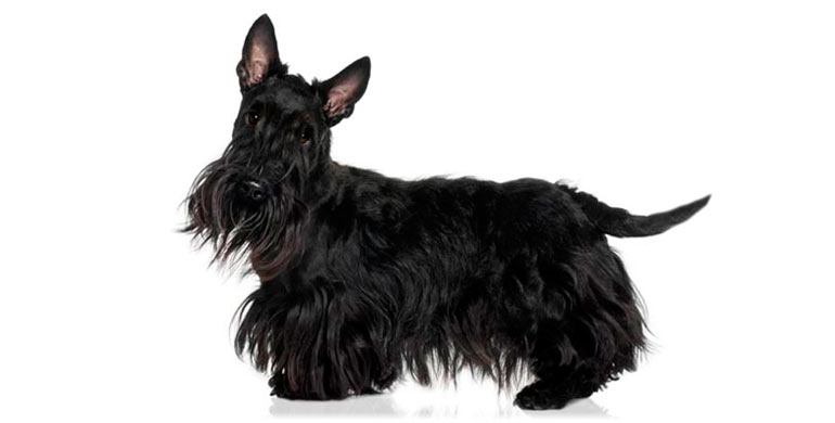 perro-scottish-terrier