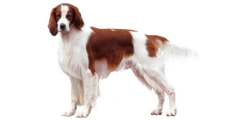 perro-setter-irlandes-rojo-y-blanco