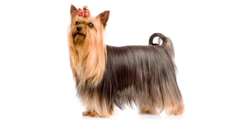 perro-silky-terrier